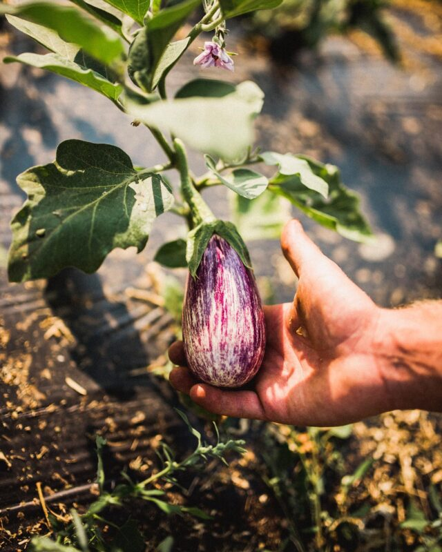 What's your favourite eggplant dish? Tell us in the comments below! 🍆  Take advantage of what's in season in BC at a farmers' market near you - find out more in our bio! 😊